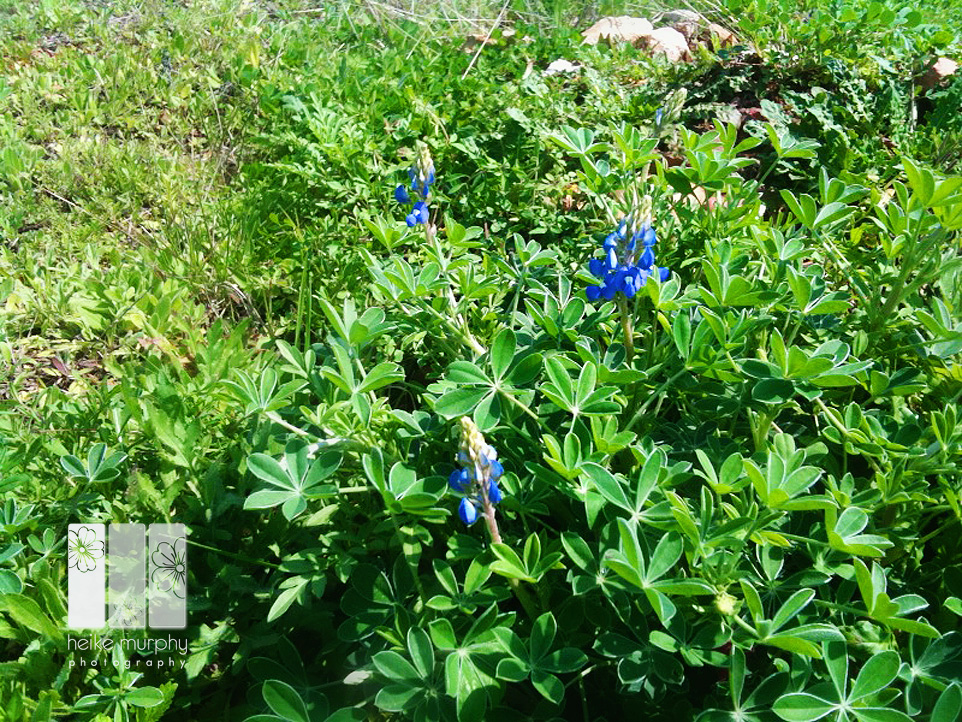 first bluebonnets blog